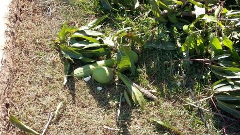 Árvores mutiladas pela terceirizada da Cemar estavam produzindo frutos